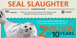 The Humane Society - Seals Slaughter [infograph]